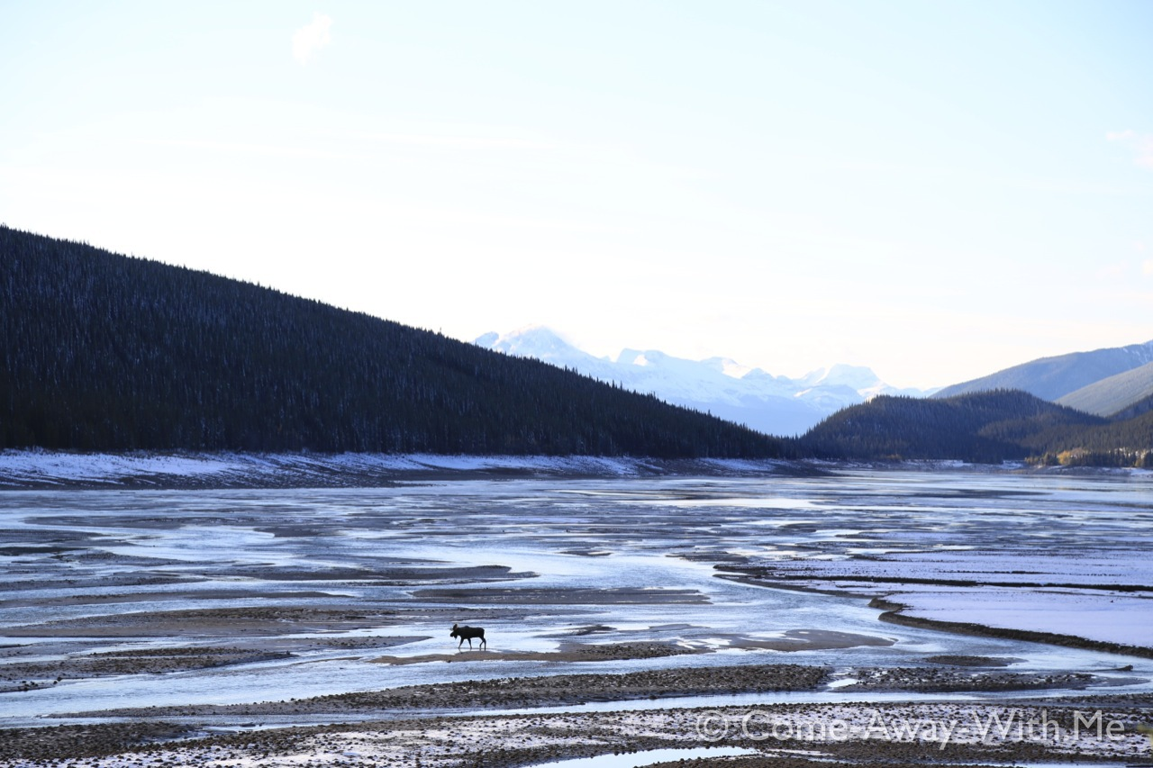 Moose on the dry part of Lake Medicin